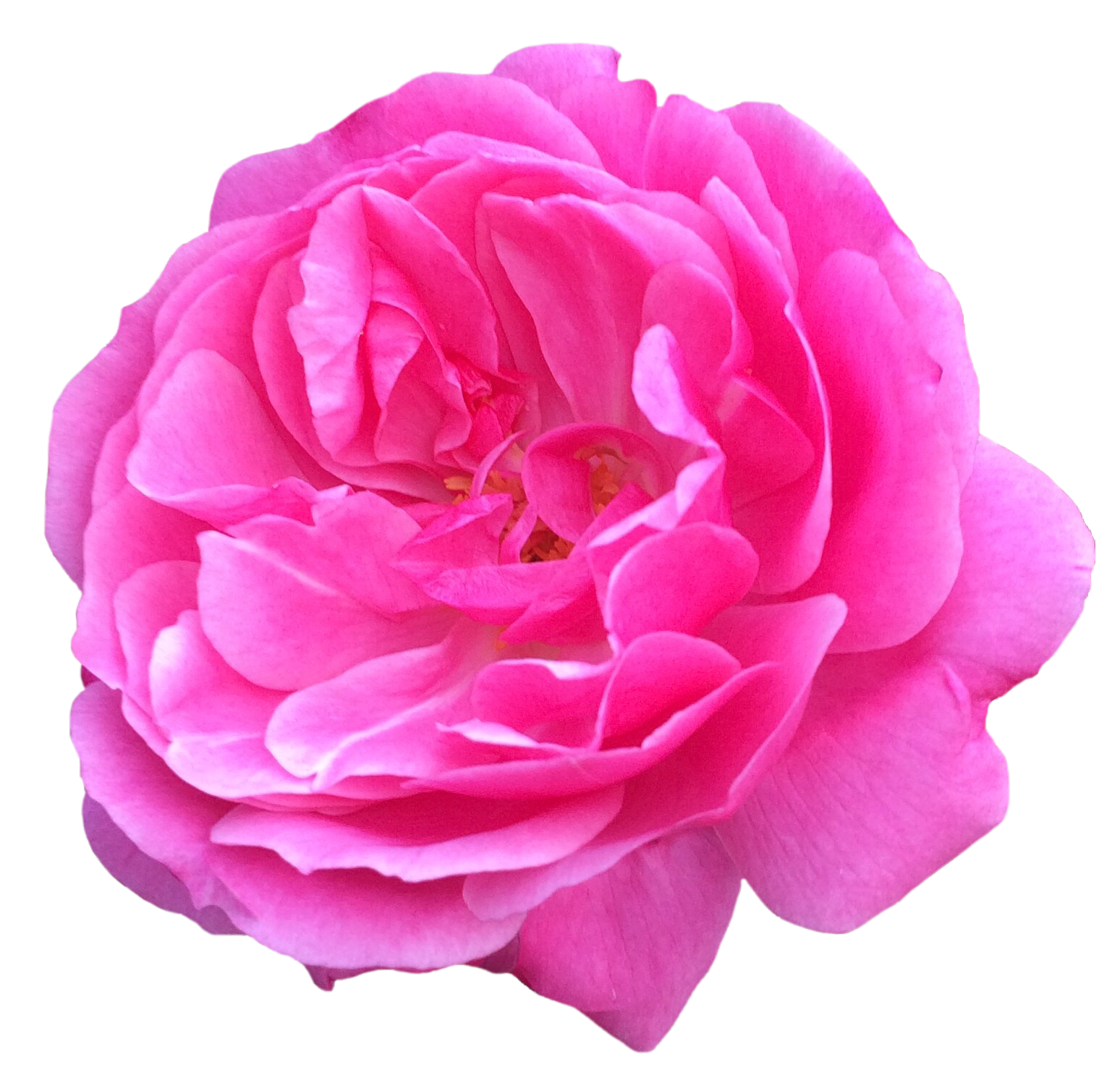 A particularly lovely pink rose