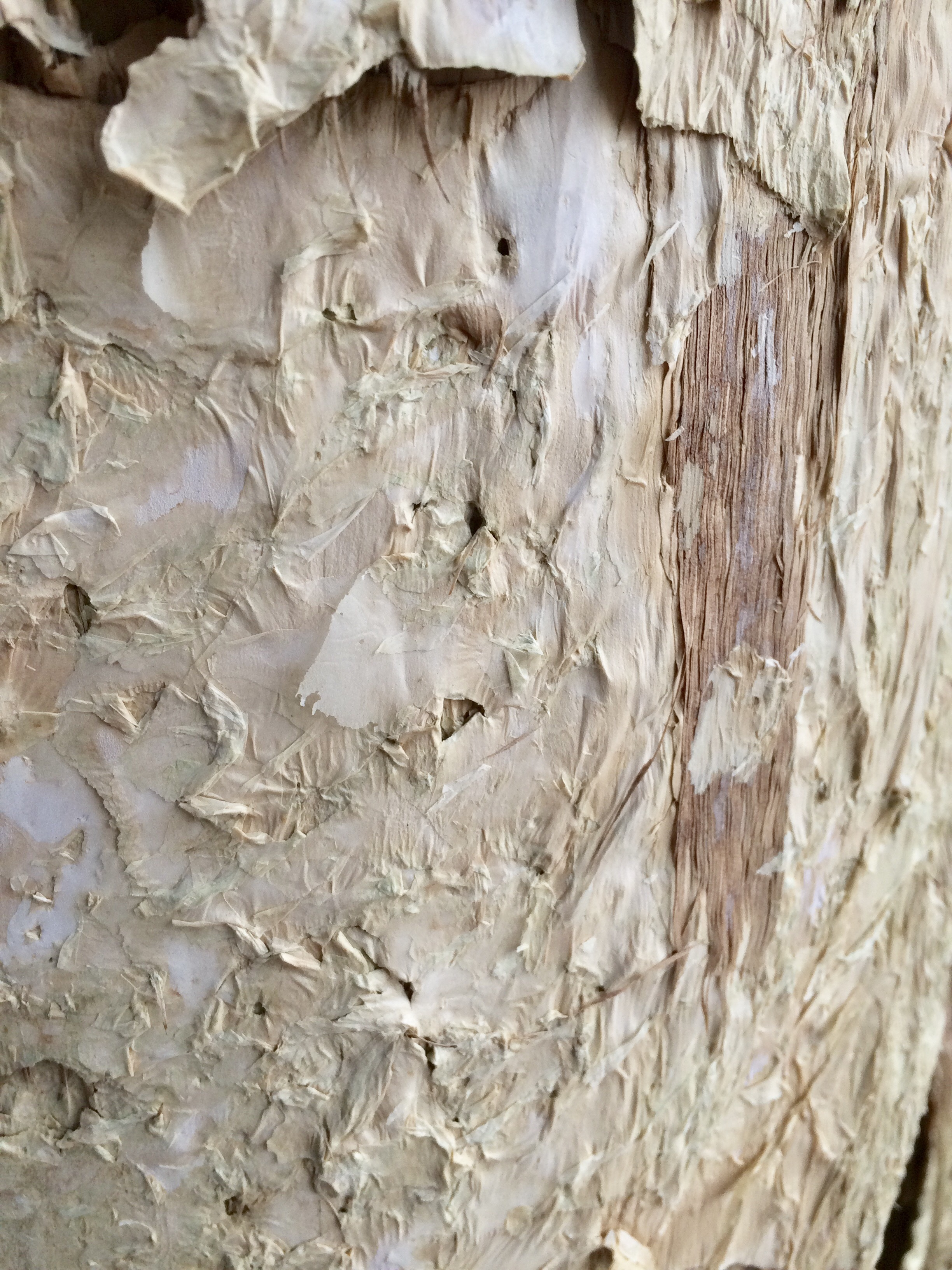 The good old paper bark is another specimen with a lovely texture