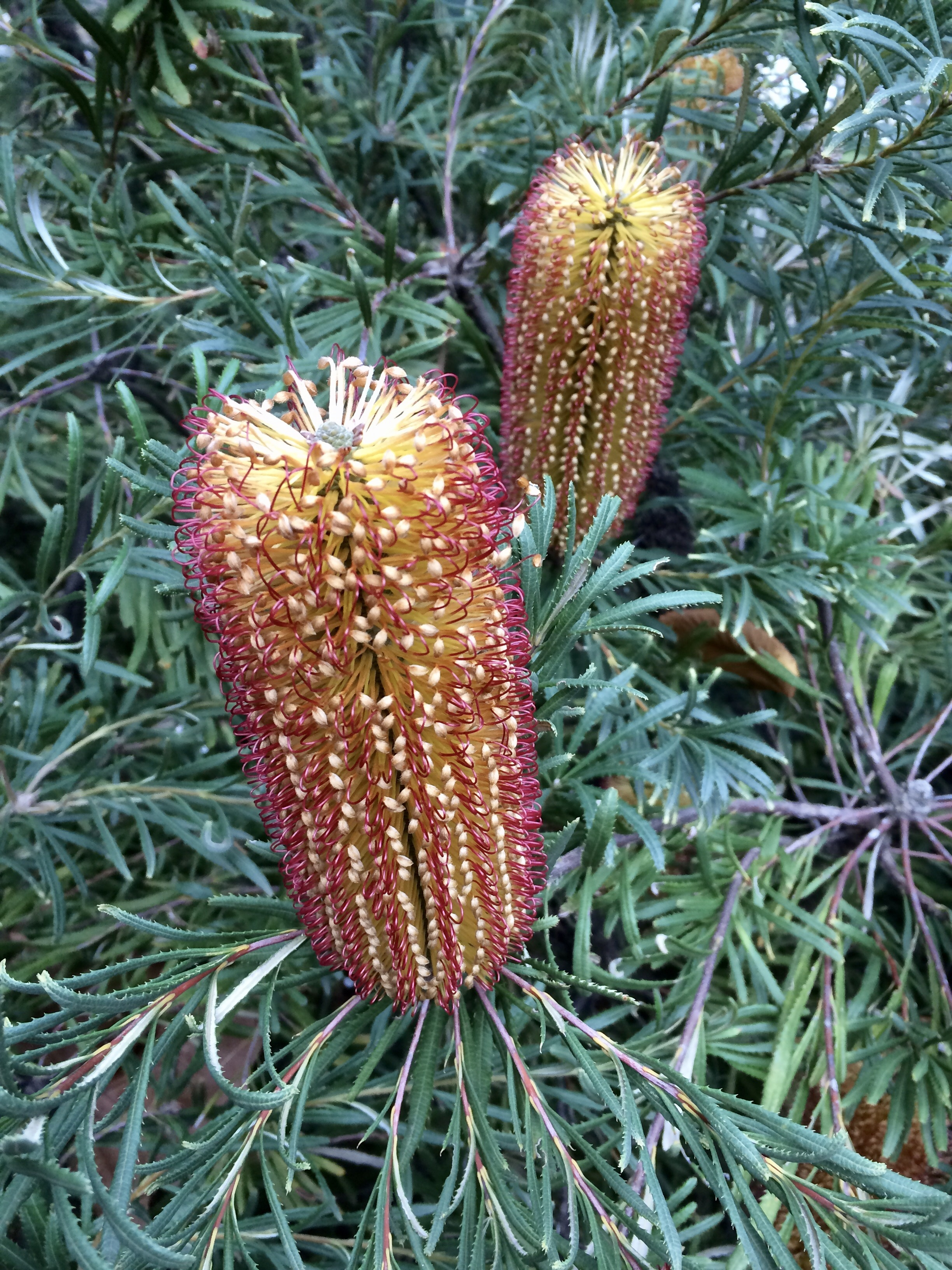 Some of the lovely bottle brushes in flower at the gardens in winter