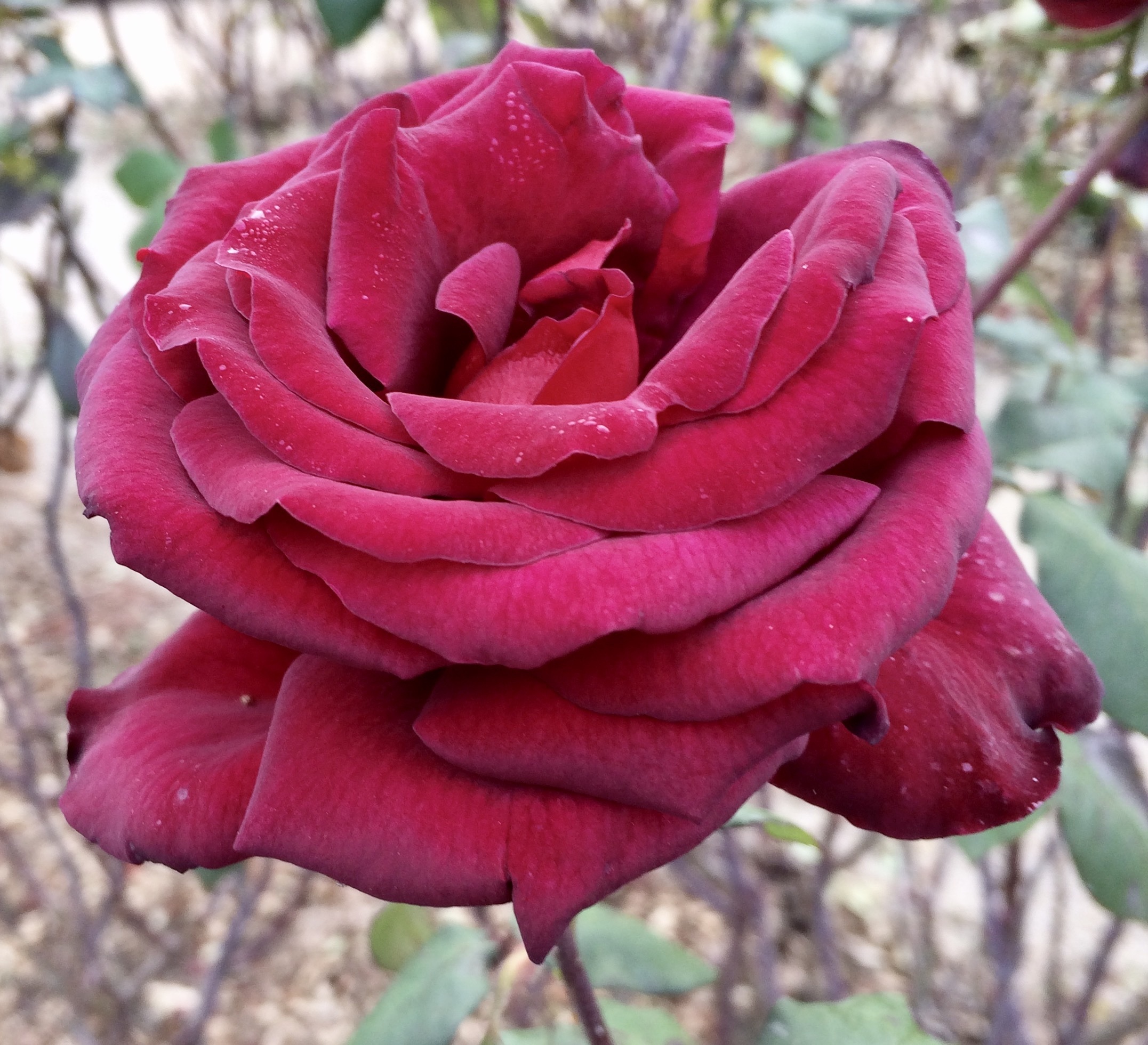 A deep-red rose - one of my favourite rose colours