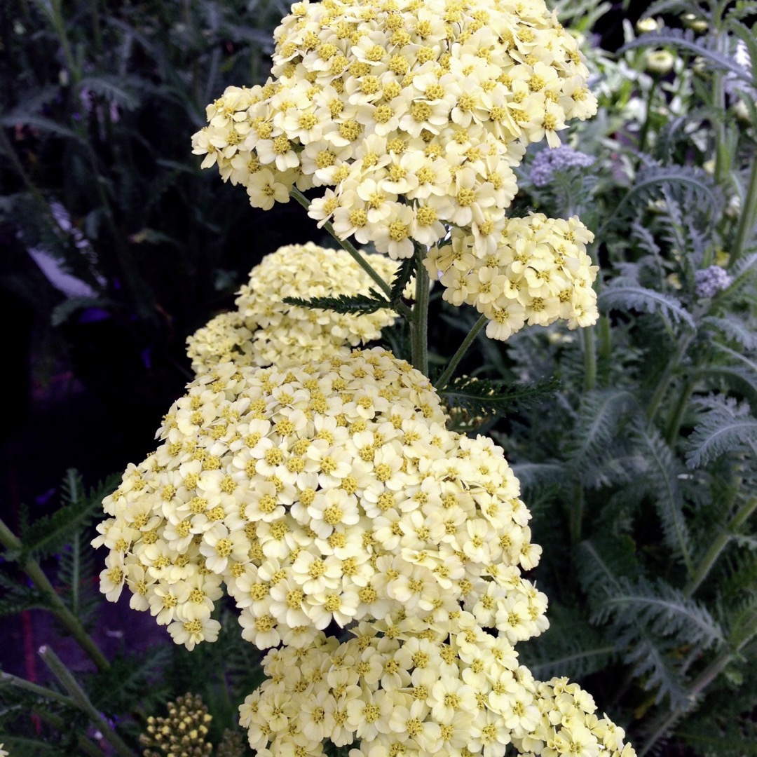Yarrow, how to grow yarrow